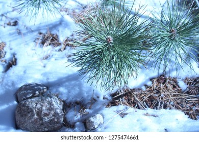 Pine branch extends out over snow and rocks in a New Mexico winter