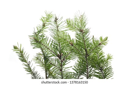 Pine branch isolated on white background with clipping path