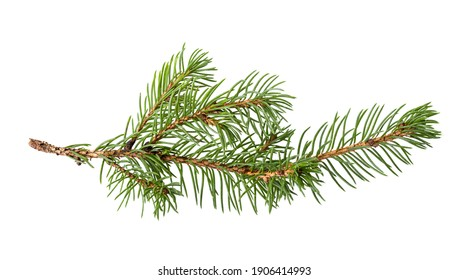 Pine branch isolated on white background. Fir tree branch isolated on white