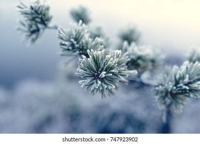 Pine branch and needles covered in morning frost, close-up, winter morning. Christmas card. Light background.