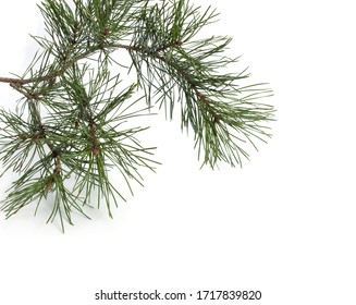 Pine branch with small cones isolated on white