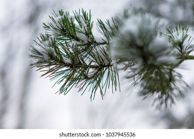 Pine branch in the snow day