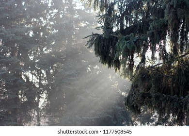 Pine branch with snow and Sun light rays