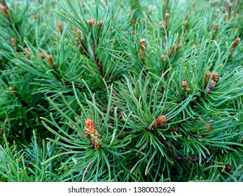 Pine branch & twig. Scotch fir tree or spruce buds. Young green sprouts fir tree twig needles. Fresh grow fir twig sprouts, pine branch in spring forest. Pine branch sprouts on coniferous background