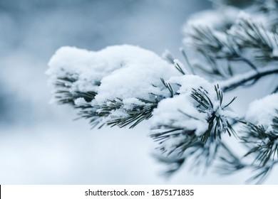 Pine branch under the snow. Blue pine tree under blue snow. Snowy winter. Snowy branch. Snowy forest - Shutterstock ID 1875171835
