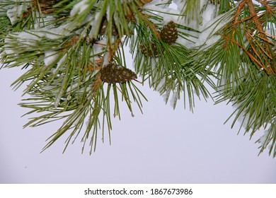 the pine branch which is strewn lightly with snow with cones