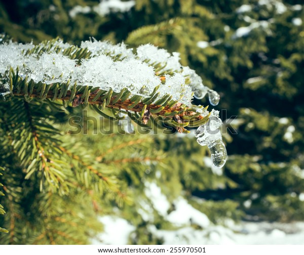 A pine branch in winter with snow and ice