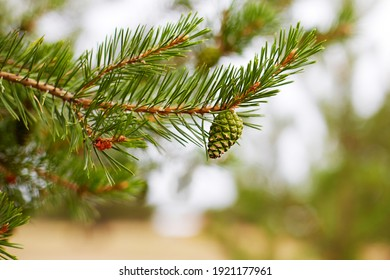 A pine branch with a young green pine cone. Macro photography. Selective focus.