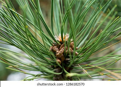 pine branches with cones topped by sunlight