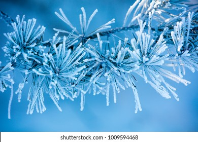 Pine branches covered with rime. Natural winter background. Winter nature. Snowy forest. Christmas background.
