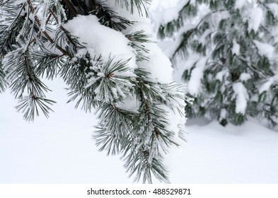 Pine branches covered with snow and hoar frost on a cloudy day. Winter background. Place for text.