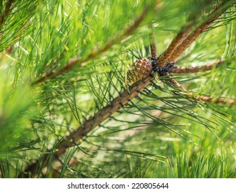 Pine branches with fir-cone. Selective focus on cone. Shallow depth of field.