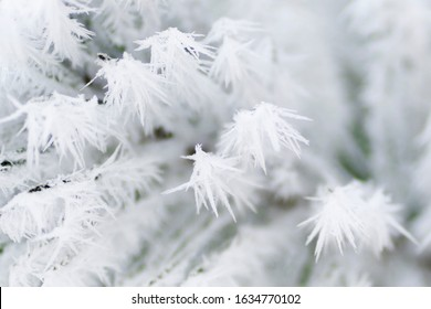 Pine branches in frosty hoarfrost. Needles in the snow and hoarfrost hoarfrost along with pine branches in the winter in the park.