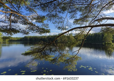 Pine branches on the lake shore