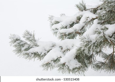 Pine branches in the snow, winter, frost