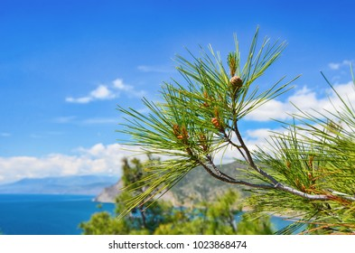Pine branches with young cones against the background of the sea bay on a bright sunny day.