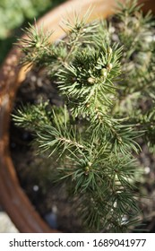 Pine buds in the spring. Bloomed pine branches. Young pine.