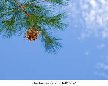 Pine cone and branch against a blue sky