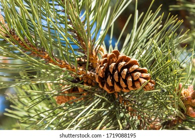 Pine Cone And Branches. Brown pine cones on fresh green conifer branches of pine tree closeup in forest.