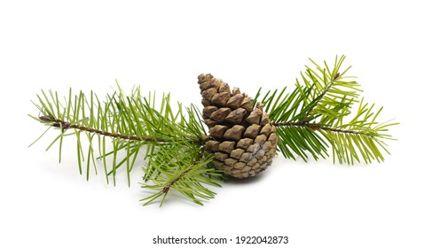 Pine cone and conifer tree leaves, twig isolated on white background