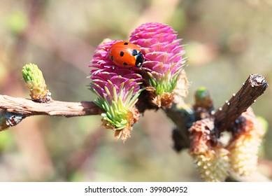 pine cone flowers and a ladybug in spring time.