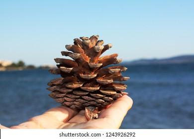Pine cone in hand. Adriatic Sea.