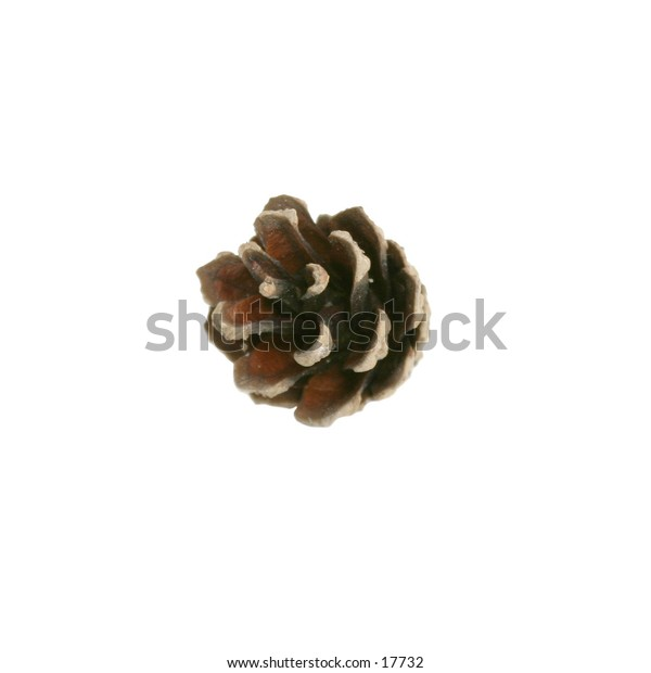 A pine cone isolated on white with clipping path.