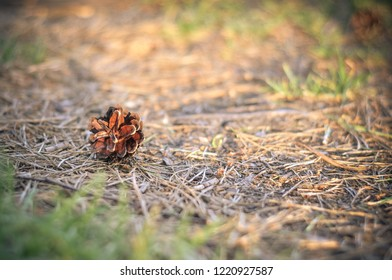 Pine cone lying on the ground in the forest in summer at sunset