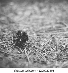 Pine cone lying on the ground in the forest in summer -  instant vintage square photo in black and white