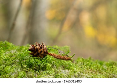 Pine cone in moss eaten by squirrel in front of a sunlit forest blurred in the background