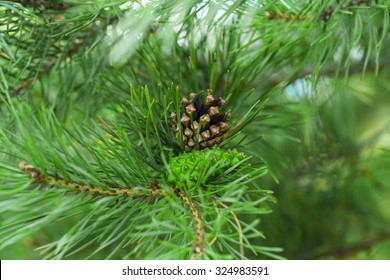 Pine cone and needles on tree branch