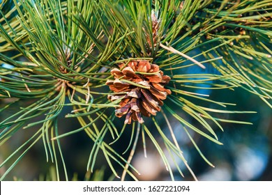 Pine cone on a branch of a large conifer in the light of dawn in the mountains. Brown conifer in the foliage of green conifer needles. Nature. Relax