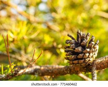 Pine cone on branch towards lush foliage