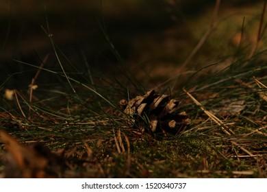 Pine cone on litter (macro)