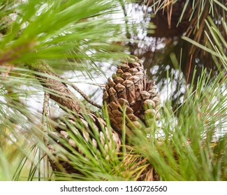 Pine Cone on Pine Tree, Behind Pine Needles, Blur Foreground, Shallow Depth of Field Nature Summer 2018