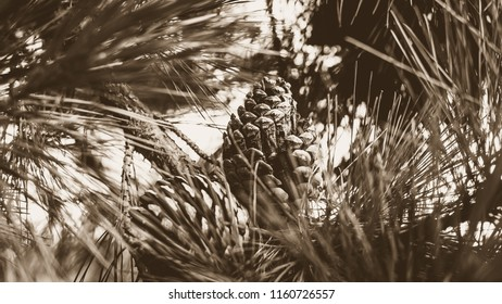 Pine Cone on Pine Tree in Sepia, Behind Pine Needles, Blur Foreground, Shallow Depth of Field Nature Summer 2018 horizontal sepia tone photography