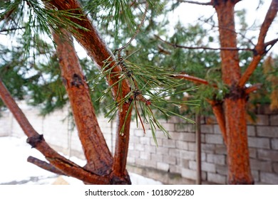 Pine cone on pine tree,Christmas party ans happy new year celebration