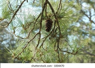 A pine cone in its tree.