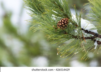 Pine Cone in Tree