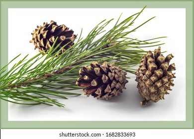 Pine cones and branch on a white background with a frame