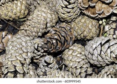 pine cones close-up