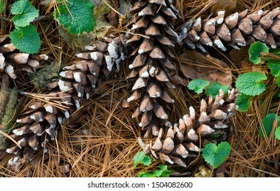 Pine cones from an Eastern white pine lay atop a bed of pine needles