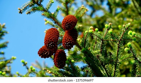 Pine Cones Hanging From a Branch