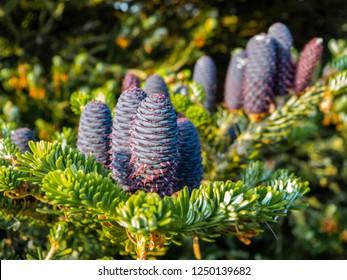 Pine cones of a Korea fir, Abies koreana