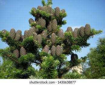 Pine cones of a Korea fir, Abies koreana, with abundant female cones