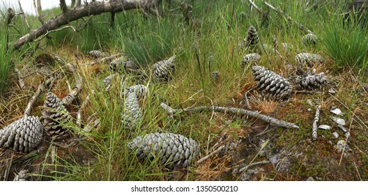 Pine cones lying on the humid soil of the moorlands in natural reserve 'De Zoom' on the border of Belgium and the Netherlands
