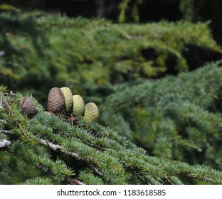 Pine cones on Atlantic / Blue Atlas cedar tree (Cedrus atlantica)