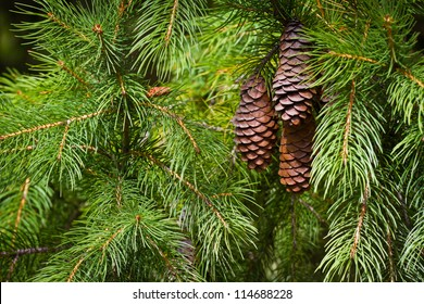 Pine cones on the branch.