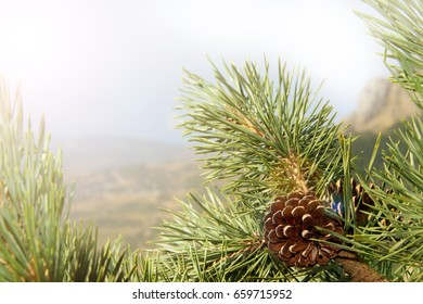 Pine cones on branches of trees with needles and blue sky in the background