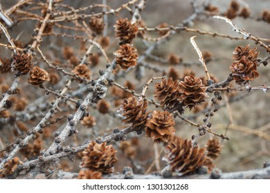 Pine cones on a tree, Magadan